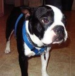 Gizmo is a big goofy Boston! is an adoptable Boston Terrier Dog in Redondo Beach, CA. Gizmo is a gorgeous 4 year old purebred Boston Terrier boy looking for a new forever home. Gizmo was owned by a fa...
