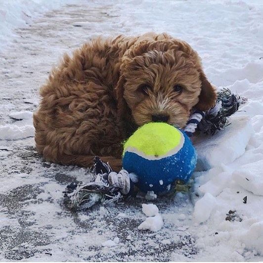 The Cold Weather Has Nothing On Me Shoutout To My Aunt Michelle For The Photo Cockapoo Puppies Cockapoo Doggo
