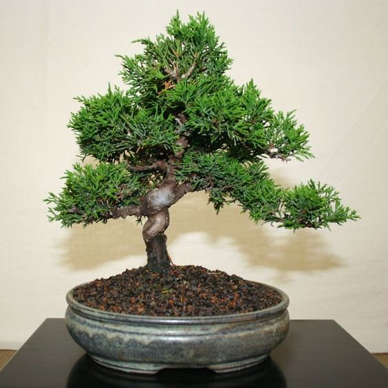 well suited cypress bonsai tree chinese elm bonsai tree japanese black chinese elm bonsai tree