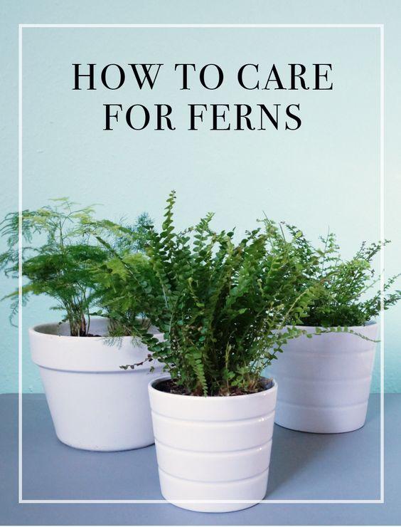 indoor ferns ferns and indoor on pinterest. Black Bedroom Furniture Sets. Home Design Ideas