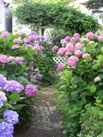 Victorian Cottage Garden with Hydrangea macrophylla