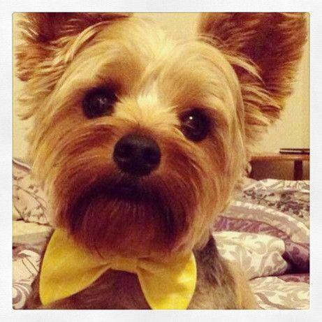 Wonderful Terrier Bow Adorable Dog - a4b2a94e62a88331fdf6a3a035980430  Graphic_496248  .jpg