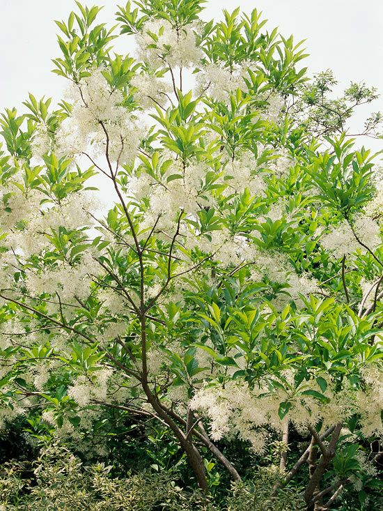 Our favorite small trees editor spring and fringes north america fringe tree is a versatile plant you can grow as a large shrub or small tree regardless it offers clouds of fragrant white flowers in mightylinksfo