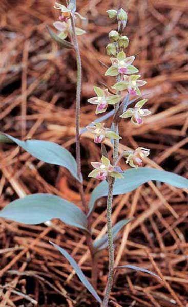 Mario A. Diges - Guía de consulta de orquídeas ibéricas