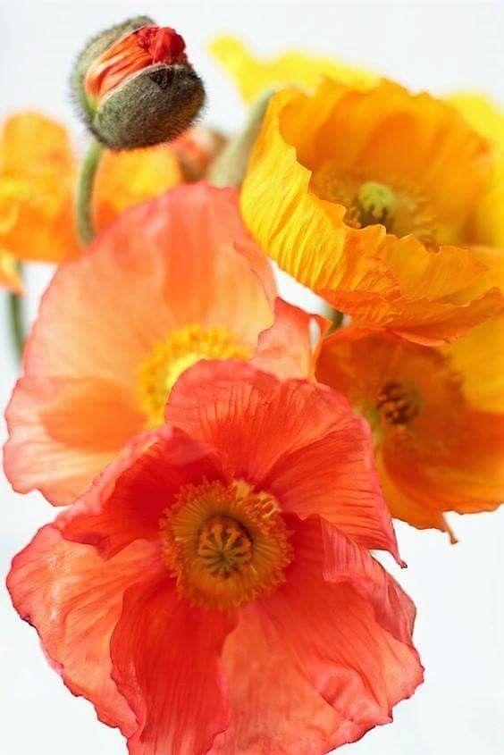 Rote Mohnblumen Gelbe Mohnblumen Orange Mohnblumen Wasserfarbenblumen Blumen Gemalde Blumenbilder