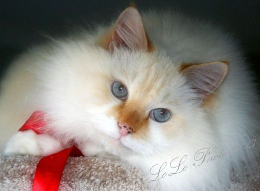 My Boy Rowdy He Is The Most Beautiful And Loving Ragdoll Cat Ever I Am Somewhat Partial Ragdollcats Ragdoll Ca Ragdoll Cat Cat Tags Pet Lover Jewelry