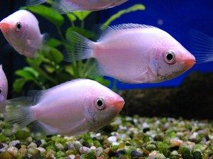Pink kissing gourami helostoma temmincki live tropical for Pink kissing fish