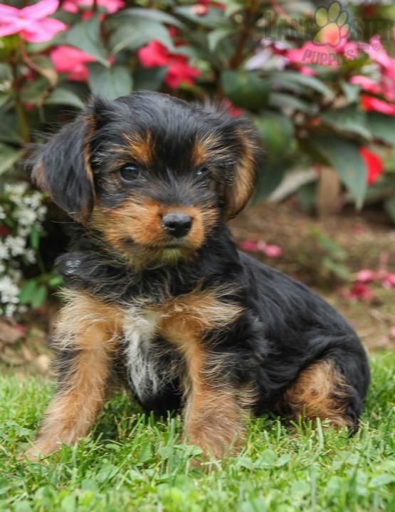 Lilly Yorkshire Terrier Puppy For Sale In Loganton Pa Lancaster Puppies Yorkshire Terrier Puppies Yorkshire Terrier Puppies For Sale