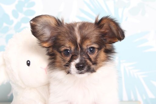 Papillon Puppy For Sale In Naples Fl Adn 67185 On Puppyfinder Com Gender Female Age 9 Weeks Old Papillon Puppy Papillon Puppies For Sale Puppies For Sale