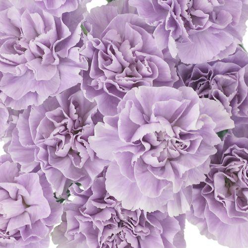 Lavender Light Purple Carnation Flowers Fiftyflowers Com Purple Carnations Carnation Flower Light Purple Flowers