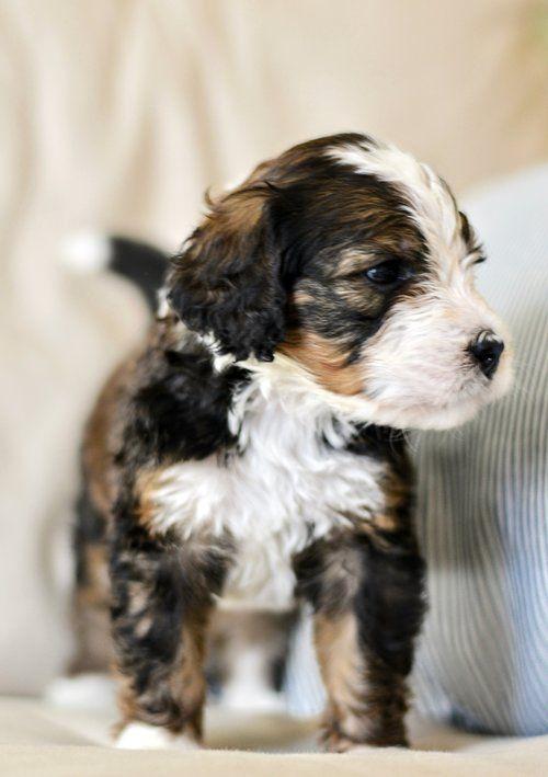 Beautiful Bernedoodle Pups For Adoption Bernedoodle Bernesemountaindog Bernese Doodle Poodle F1b Puppy Italian Greyhound Dog Pretty Dogs Grey Hound Dog