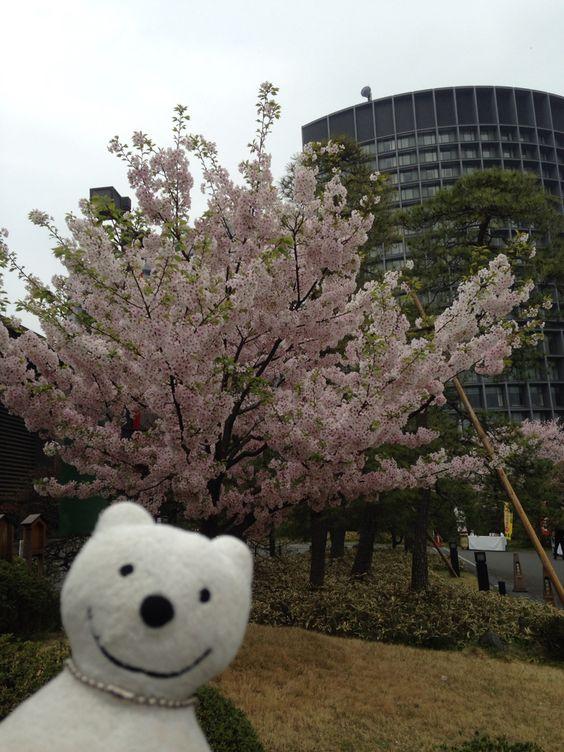 クマ散歩:国立劇場さくらまつりに品行方正なクマ出没3 The Bear went to National Theatre of Japan Cherry Blossom Festival!♪☆(^O^)/