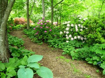 Plant ideas to put in dry shade areas white veined for Woodland garden design