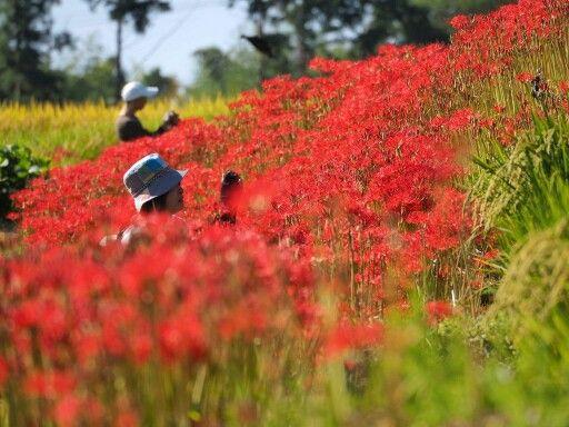 彼岸花満開:full bloom of lycoris radiata