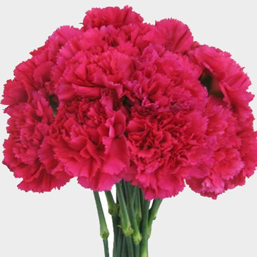 Hot Pink Carnation Flowers Fancy Carnation Flower Growing Carnations Hot Pink Flowers
