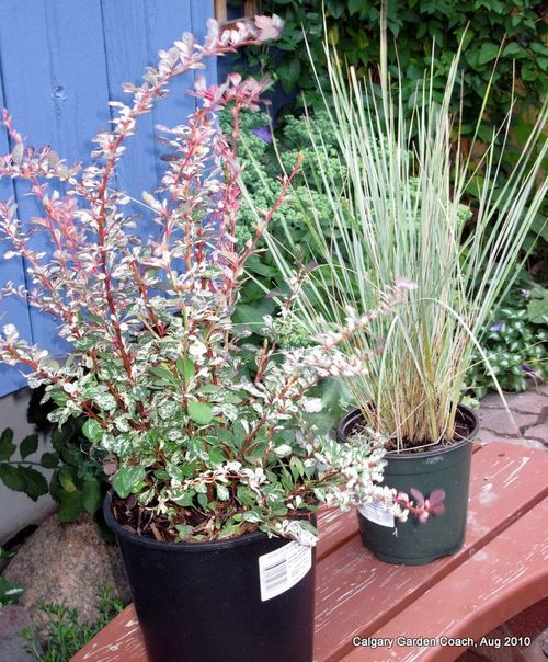 rose glow barberry and blue oat grass