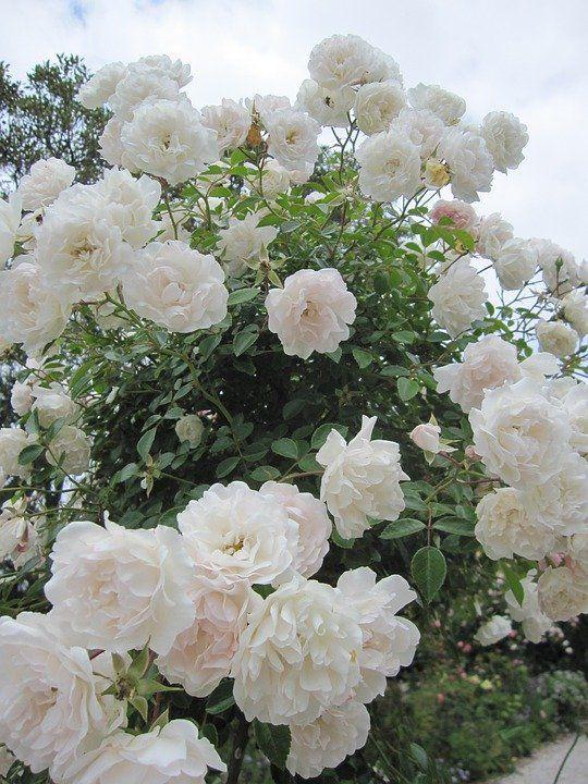 Gambar Bunga Mawar Putih Yang Cantik Bunga Mawar Putih Foto Gratis Di Pixabay Ini Makna Tersembunyi Di Balik Warna Warni Kel Mawar Putih Gambar Bunga Bunga