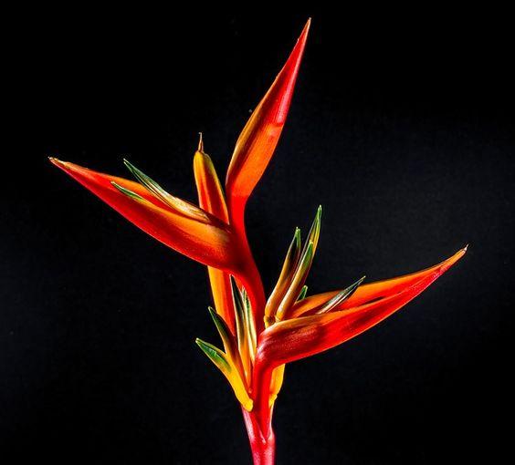 Strelitzia, Blüte, Blume, Rot, Orange, Gelb  #manduca #circadelic #orange  http://www.manduca.de/de.limitededition.circadelicsun.html