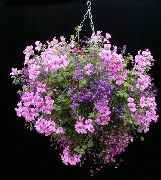 Types Of Geraniums: Geraniums Are Great Plants For Hanging Baskets