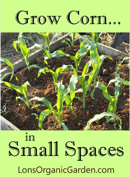Grow Corn in Small Spaces. Don't let a small garden keep ...