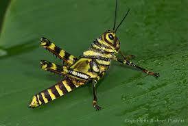 """Résultat de recherche d'images pour """"costa rican grasshoppers"""""""