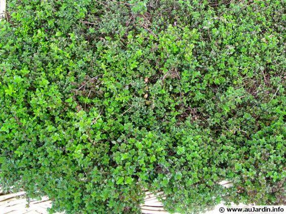 Serpolet, Thym-serpolet, Thymus serpyllum