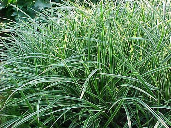 Carex 39 ice dance 39 30cm tall 5 plants per sq m full for Best ornamental grasses for full sun