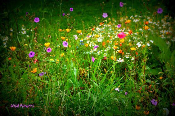 Wild Flower Garden .