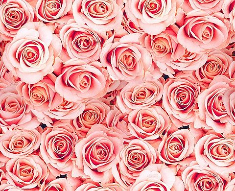 17 Best images about Roses Roses | Pink flowers, Flower ...