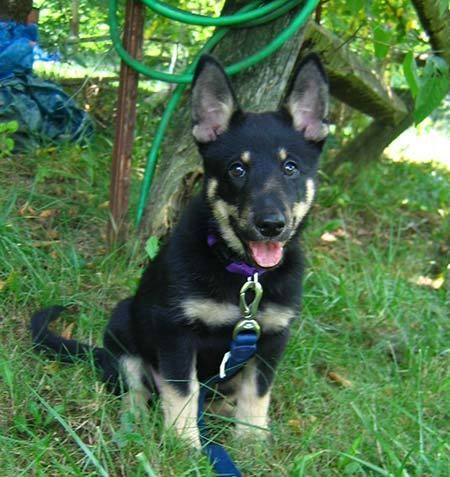 akita german shepherd corgi mix akita corgi mix and corgis on pinterest 9665