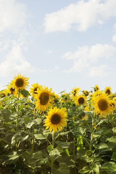 The Prettiest Sunflower Fields To Visit Across The U S Sunflower Fields Flower Field Beautiful Flowers Wallpapers