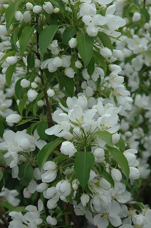 Click to view full size photo of Spring Snow Flowering Crab Malus