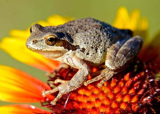 The Seattle Times: Frog on a flower