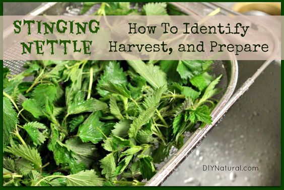 how to cook stinging nettle