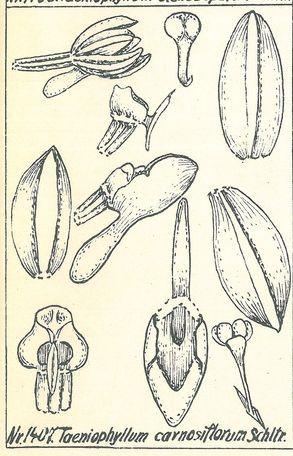 Taeniophyllum carnosiflorum