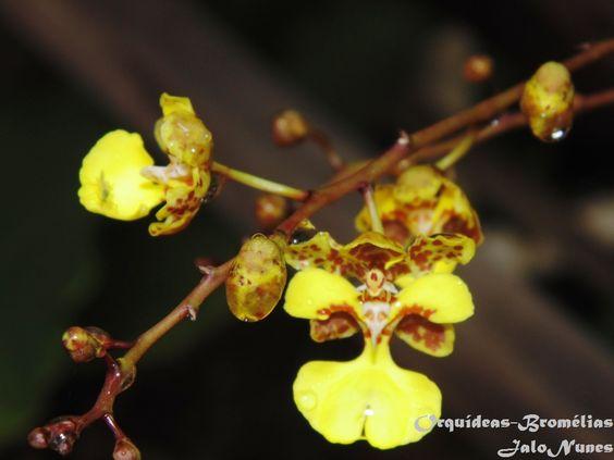 Oncidium Cebolleta | ... . Trata-se de um belíssimo e surpreendente Oncidium Cebolleta