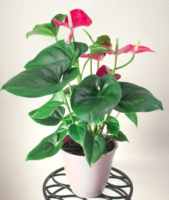 The Flamingo Flower Seen Up Close Important Care Tips Home Decors Ideas 2020 Tropische Zimmerpflanzen Zimmerpflanzen Pflanzen Fur Zu Hause
