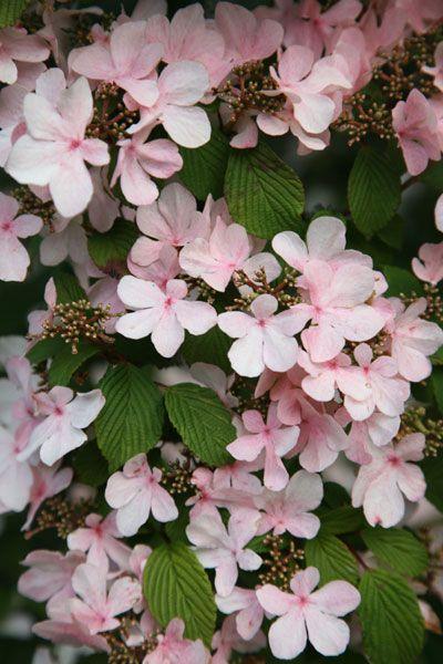 Japanese snowball bush Viburnum plicatum 'Pink Beauty' - a great choice for a Japanese-styled garden