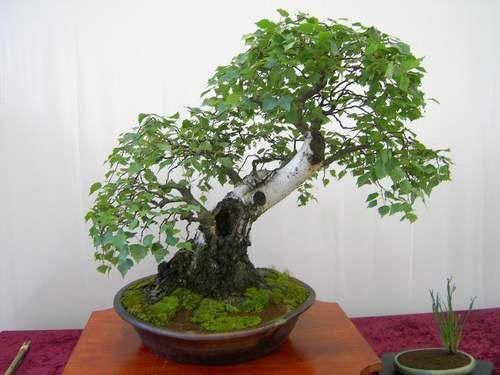 Photo Du Bonsai Bouleau Betula Indoorbonsaitrees Outdoorbonsai Arvores Bonsai Jardim Bonsai Bonsai