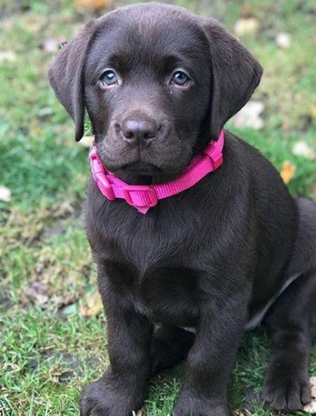 Puppy Presents Chocolate Lab Puppies Lab Puppies Labrador Puppy
