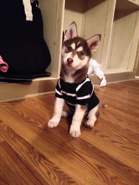 Husky dress up :)