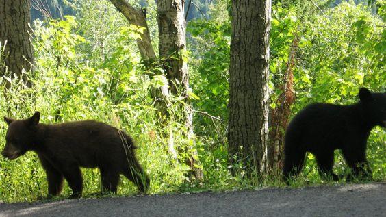 Bear cub bookends - Glacier National Park