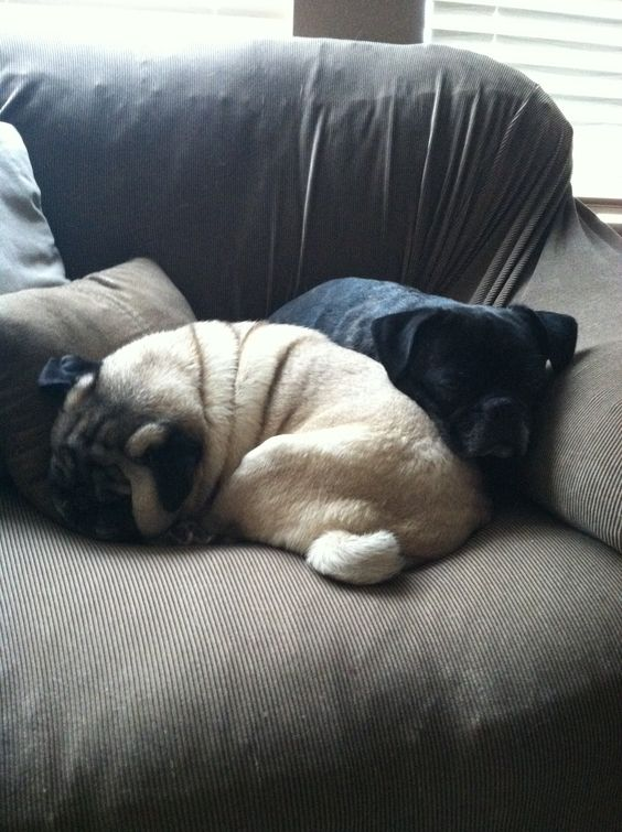 Snuggles, Pug and Chang'e 3 on Pinterest