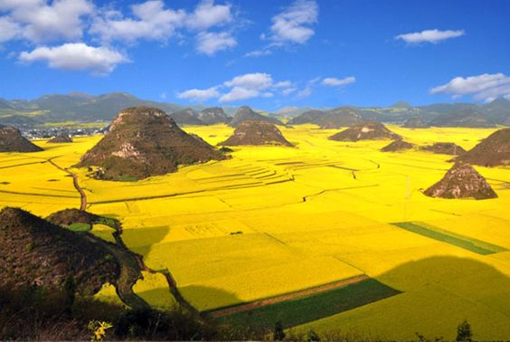 canola fields in full bloom