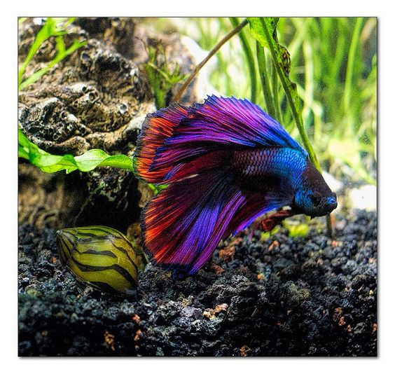 Siamese fighting fish multi color double tail male betta for What color are fish