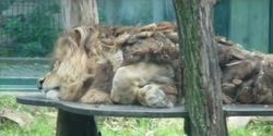 Malik (12) lives alone in Tierpark Chemnitz. His partner, lioness Kimba, died…