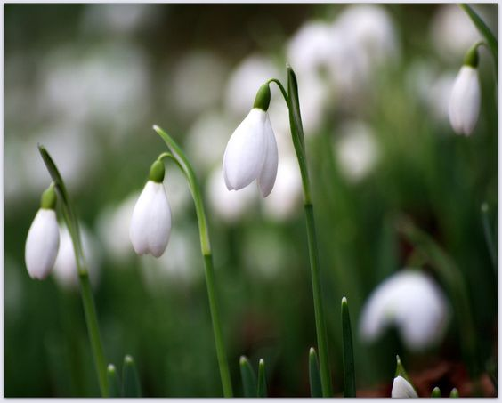 Snowdrops Bokeh by eric niven on 500px