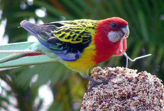 photos of birds | ... :Eastern Rosella (Platycercus eximius)4 -bird feeder.jpg - Vikipedi
