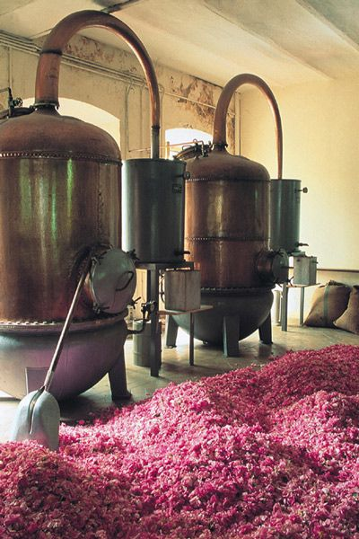 Rose petals ready for distilling into essential oils from Grasse, South of France.