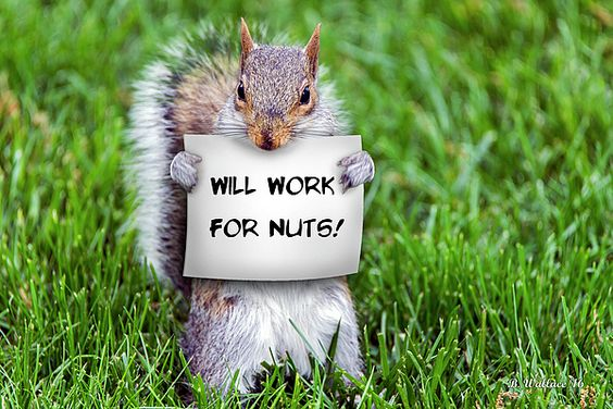 """A gray squirrel on a grassy lawn holding a sign that says, """"Will Work For Nuts"""".  Hoping it brings a smile or chuckle to someone viewing."""